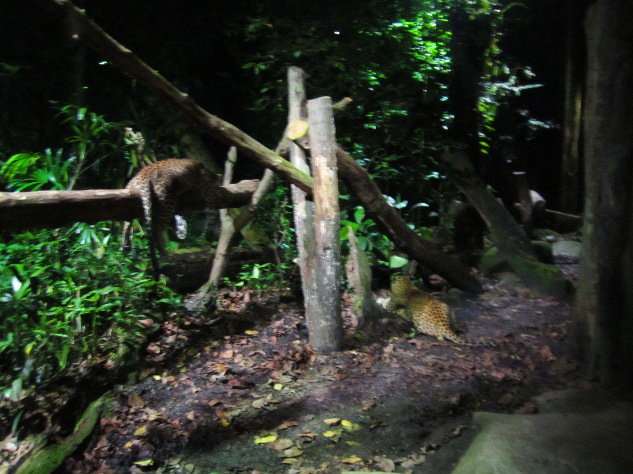 a night at the singapore night safari adventurous kate. Black Bedroom Furniture Sets. Home Design Ideas