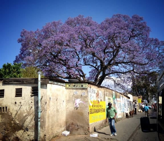 Jacaranda tree, Alexandra