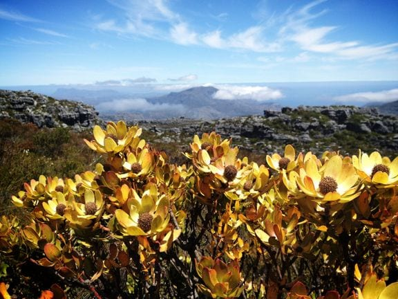 Table Mountain Flowers