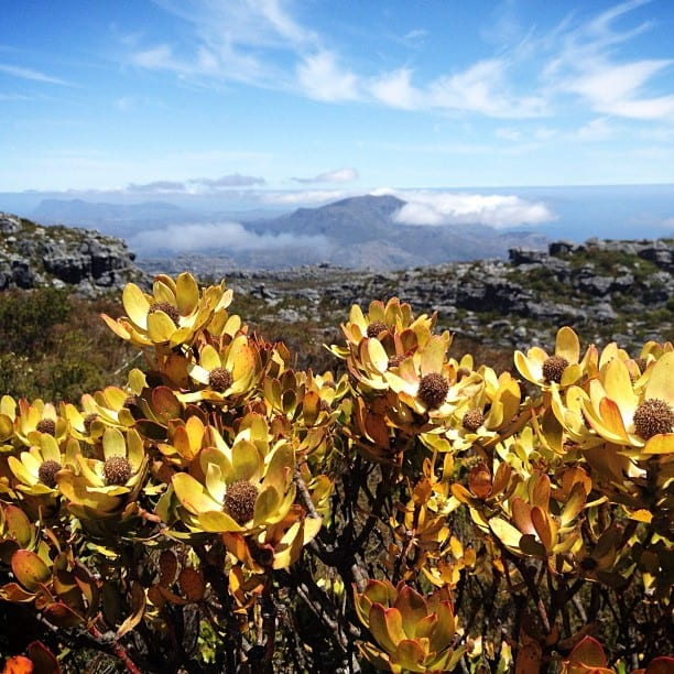 Table Mountain Flowers via Instagram