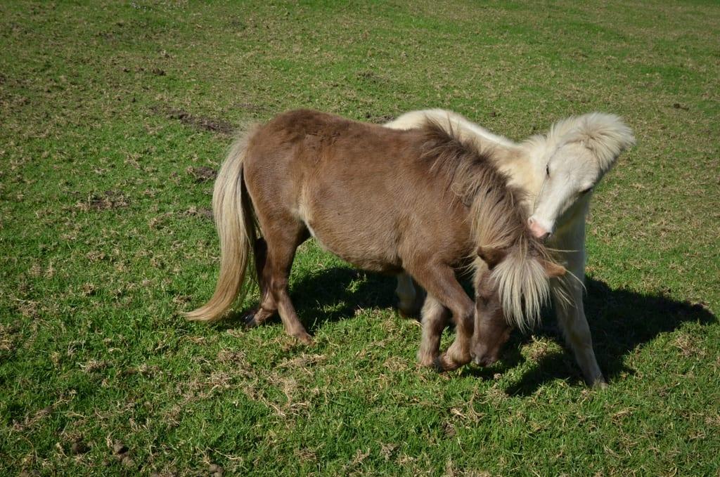 Shetland Ponies in Buffalo Bay