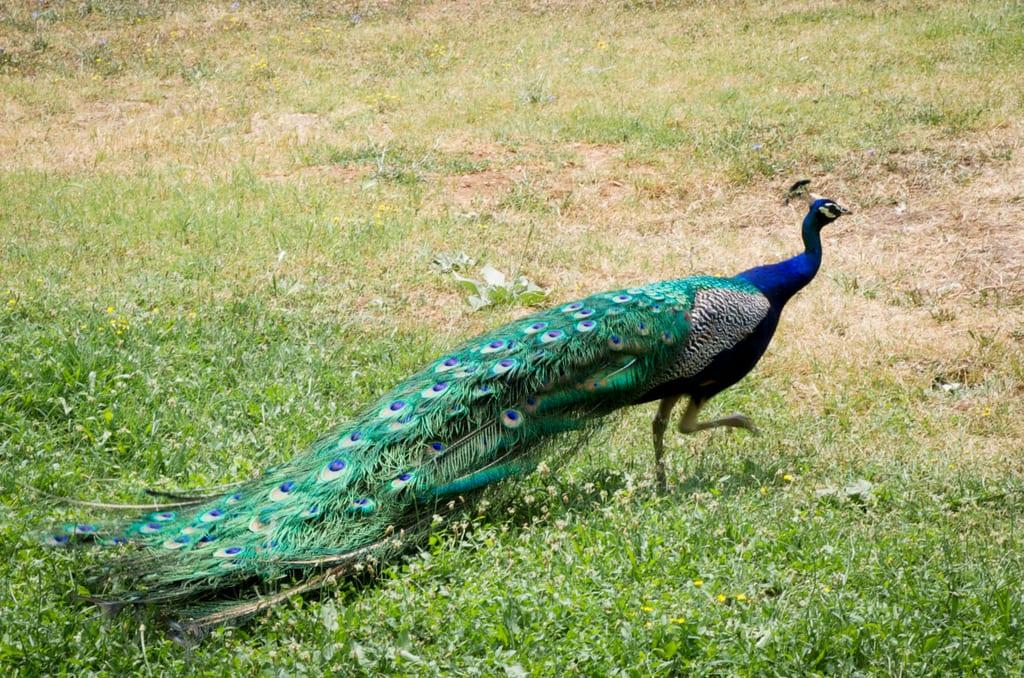 Peacock, Sveti Naum