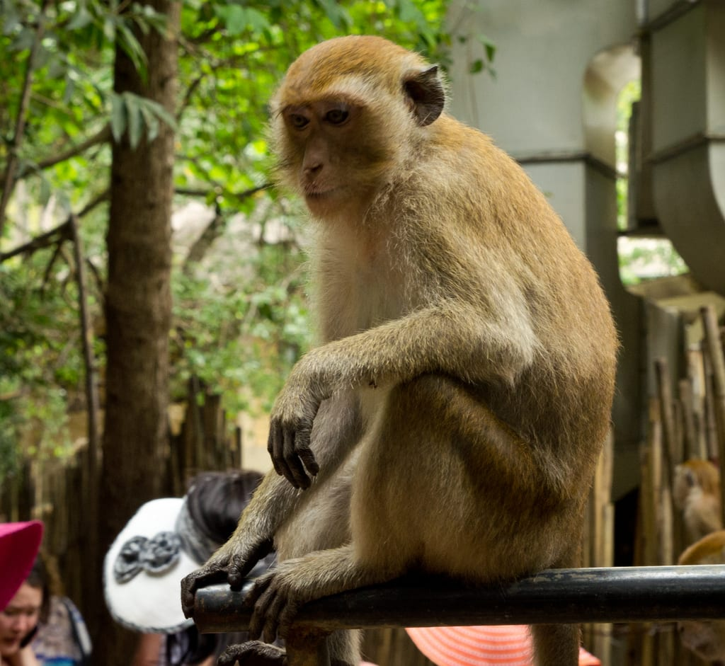 Railay Monkey