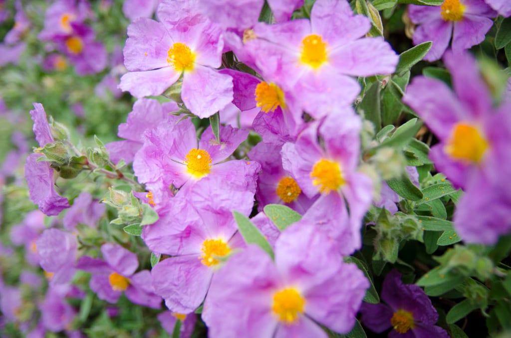 Limerick Flowers