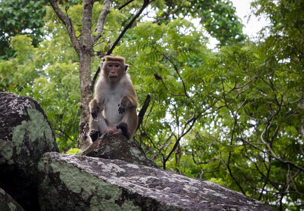 Peeing Monkey Sigiriya