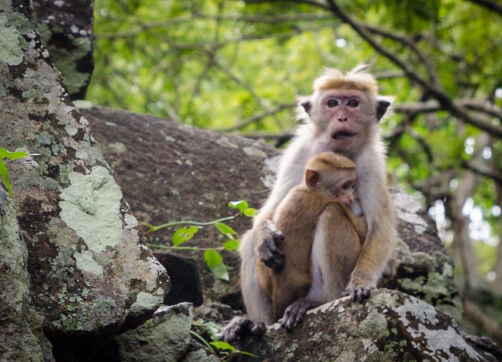Monkeys at Sigiriya