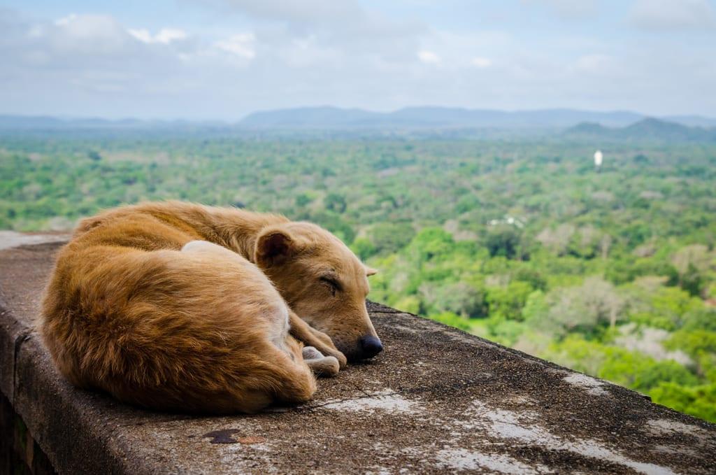 Dog in Sigiriya
