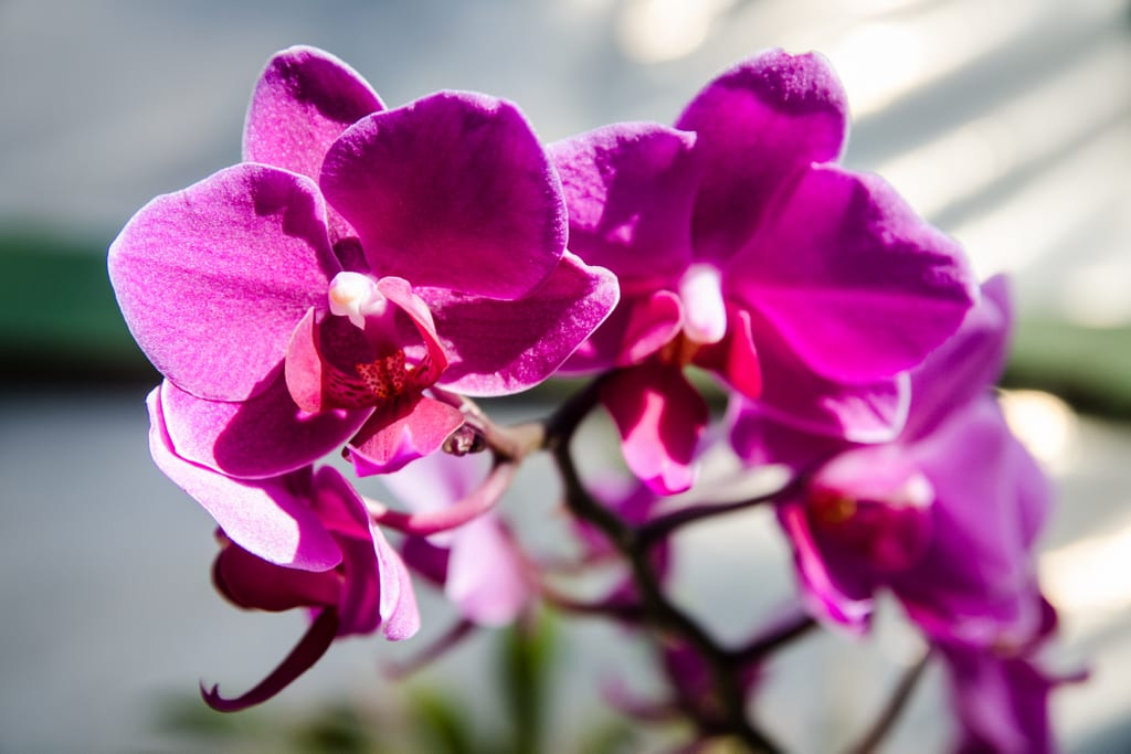 A string of bright magenta orchid blossoms on a stem at an orchid garden in Costa Rica.