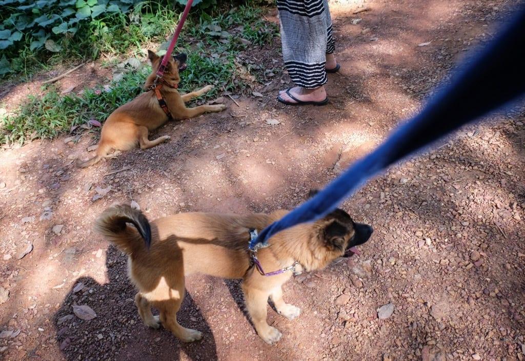 Puppies Koh Lanta