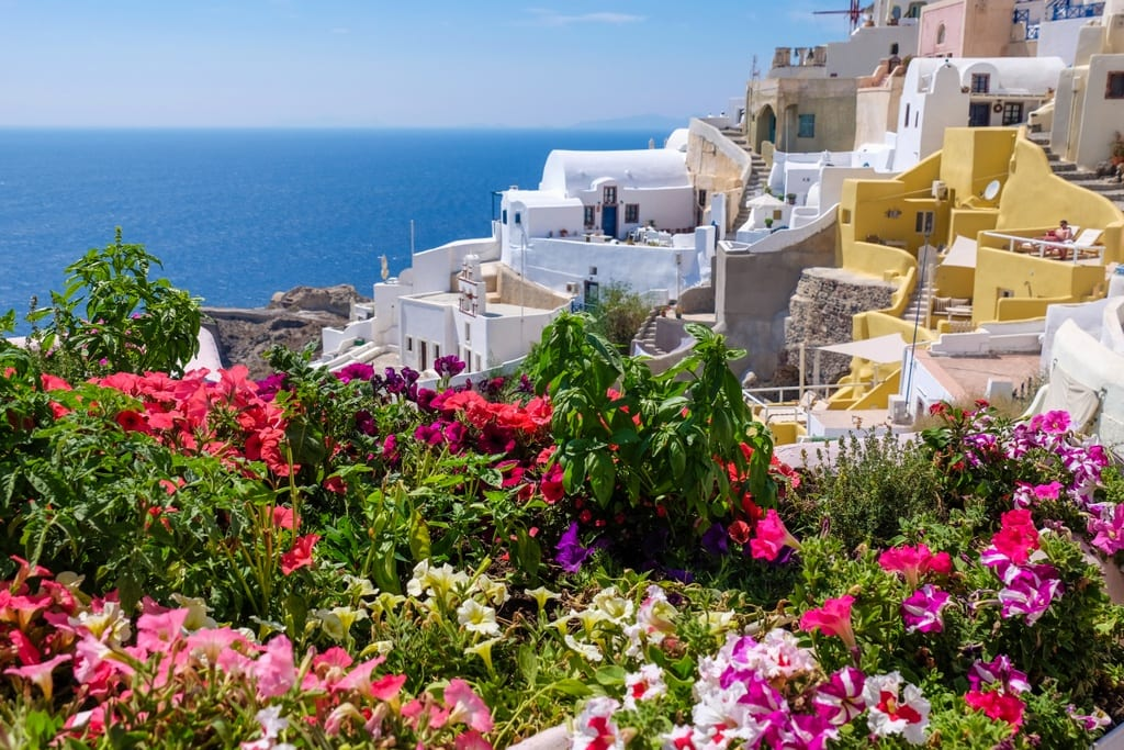 Bright pink and red wildflowers with a backdrop of the white houses of Santorini in front of the ocean.