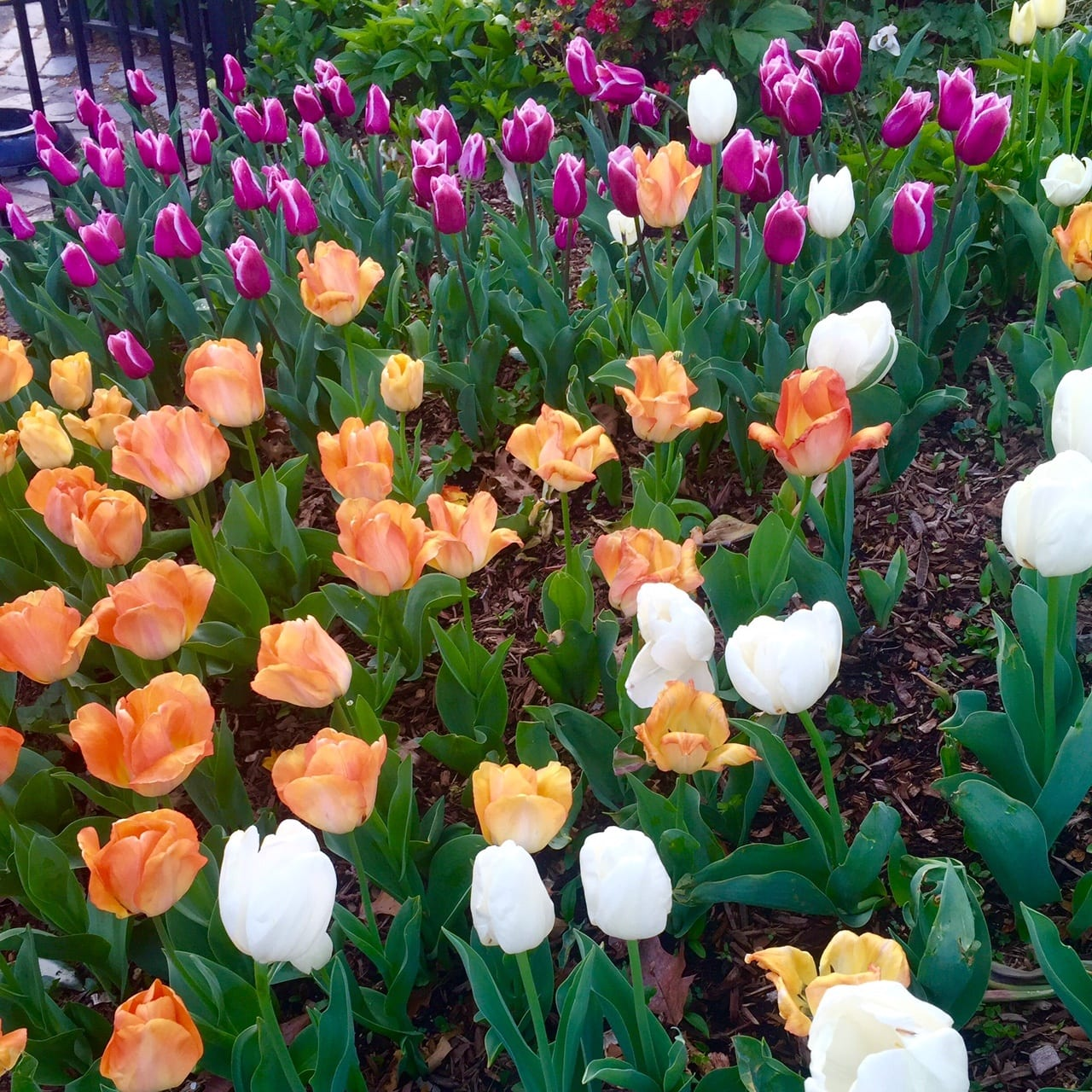 New York Tulips