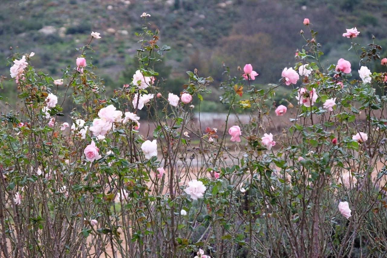 Stellenbosch Flowers in Winter