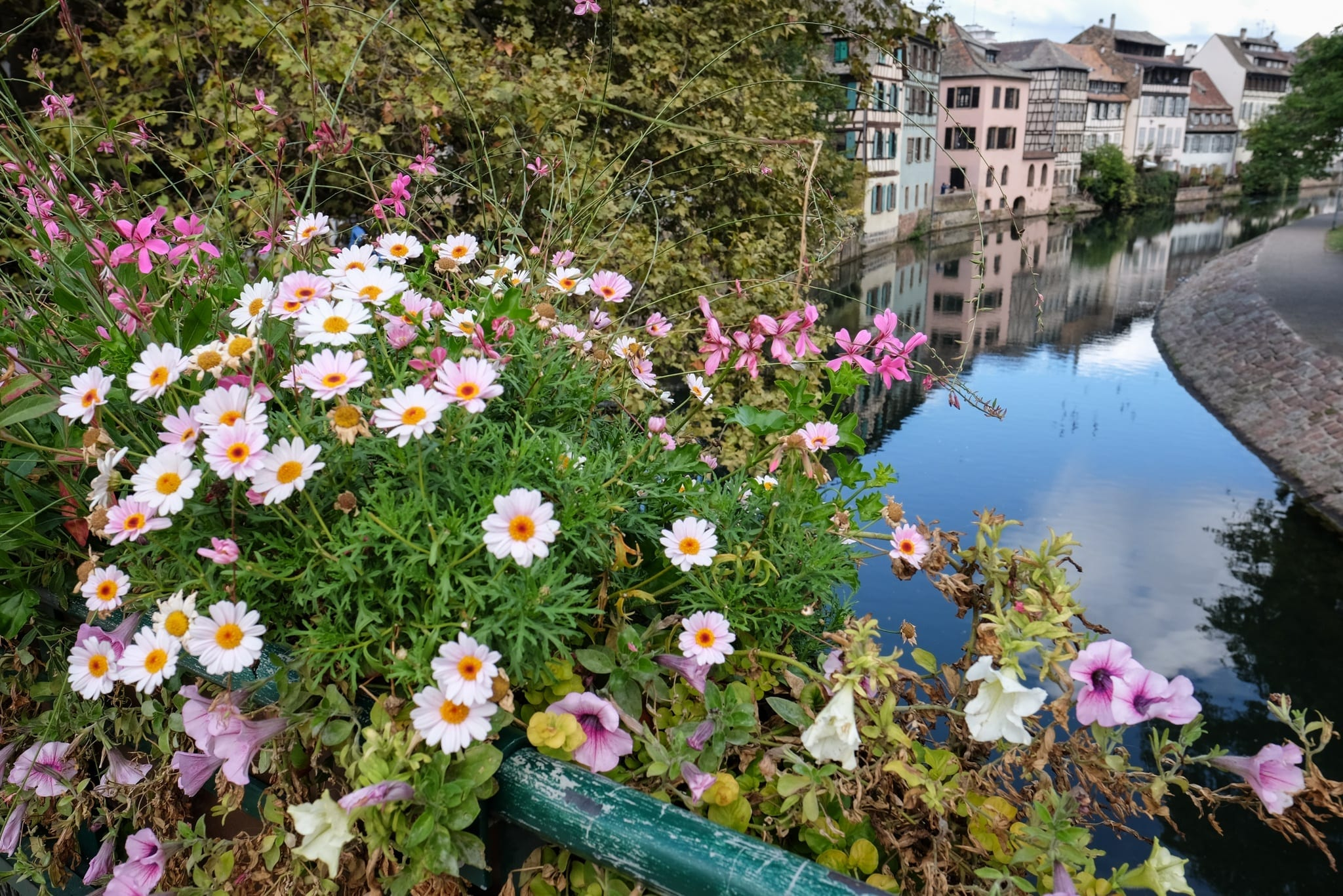 Bright white daisies with yellow center spilling over a bridge in Strasbourg, France, a still canal and pale houses in the background.