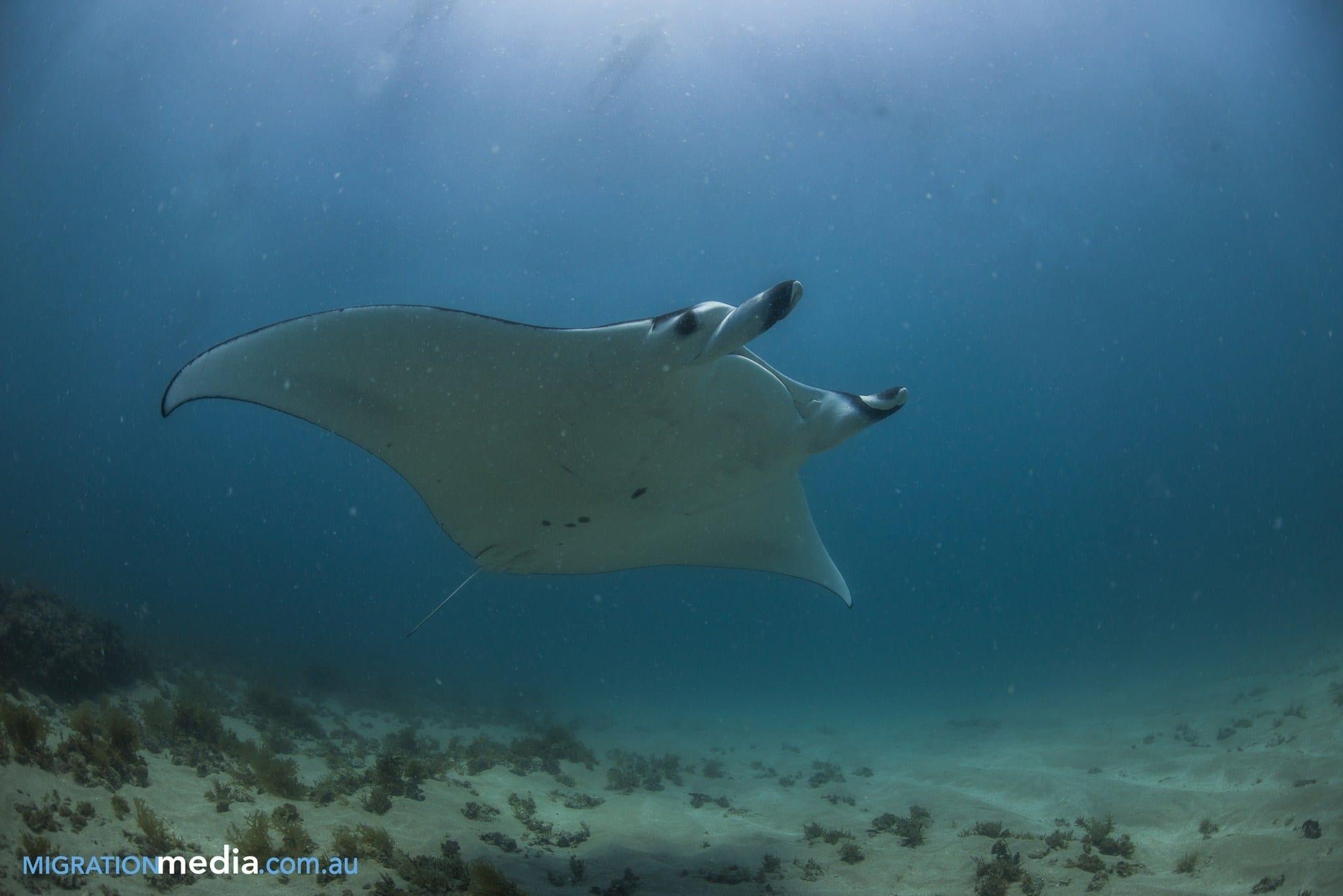 Manta Ray at Ningaloo Reef