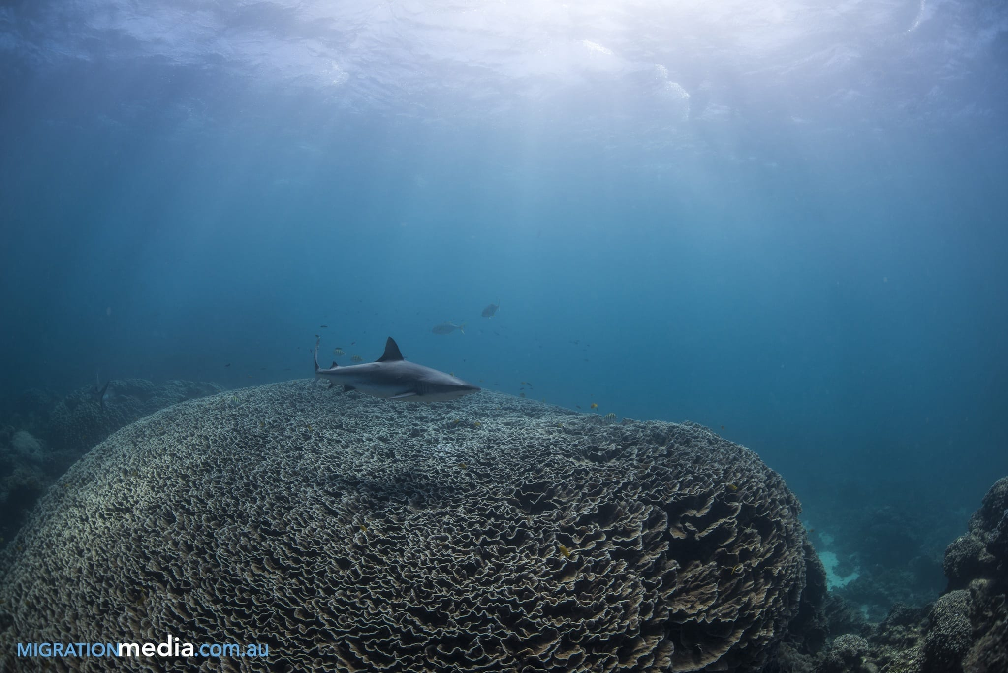 Shark at Ningaloo Reef