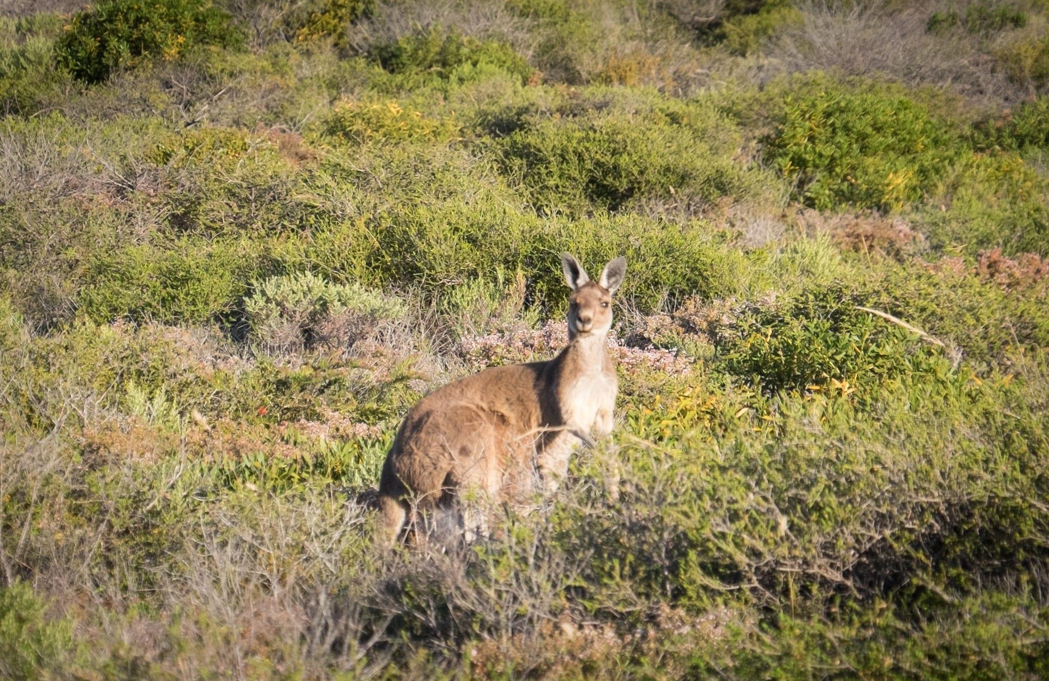 Kangaroo in Kalbarri