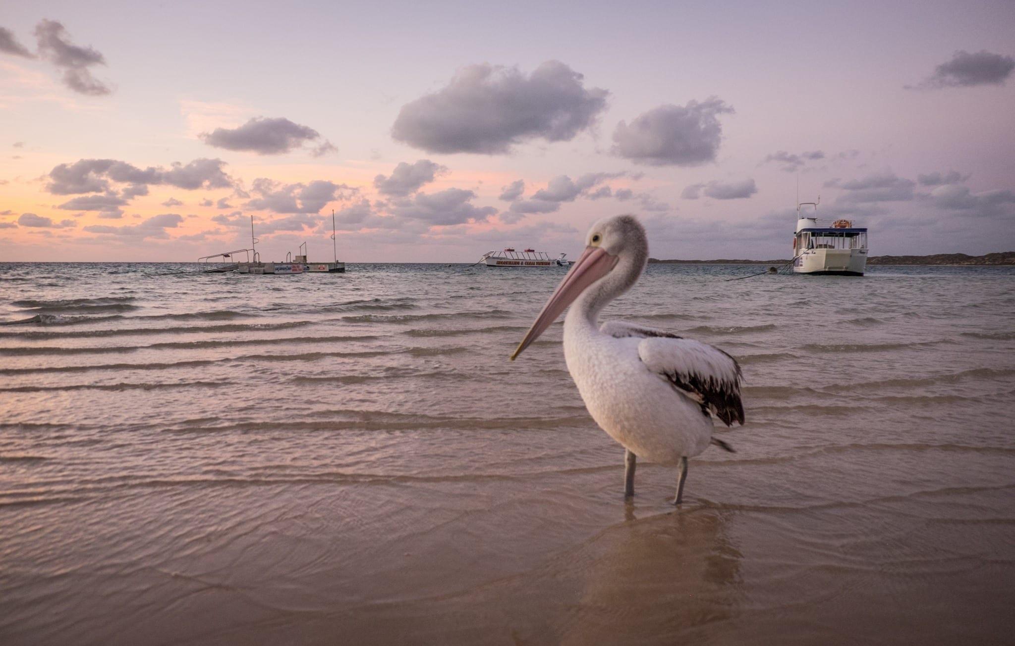 Coral Bay Pelican