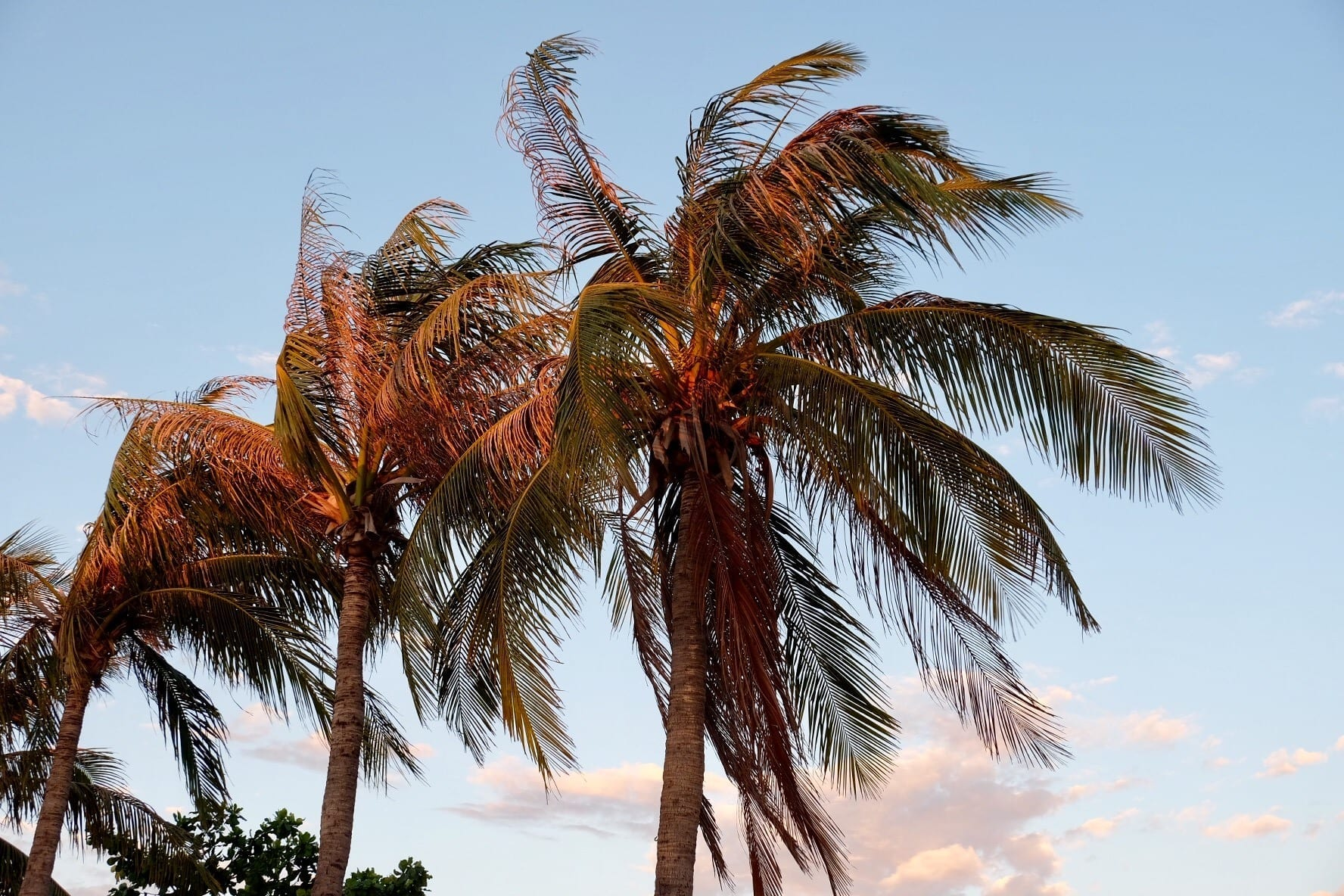 Palm Trees in Broome