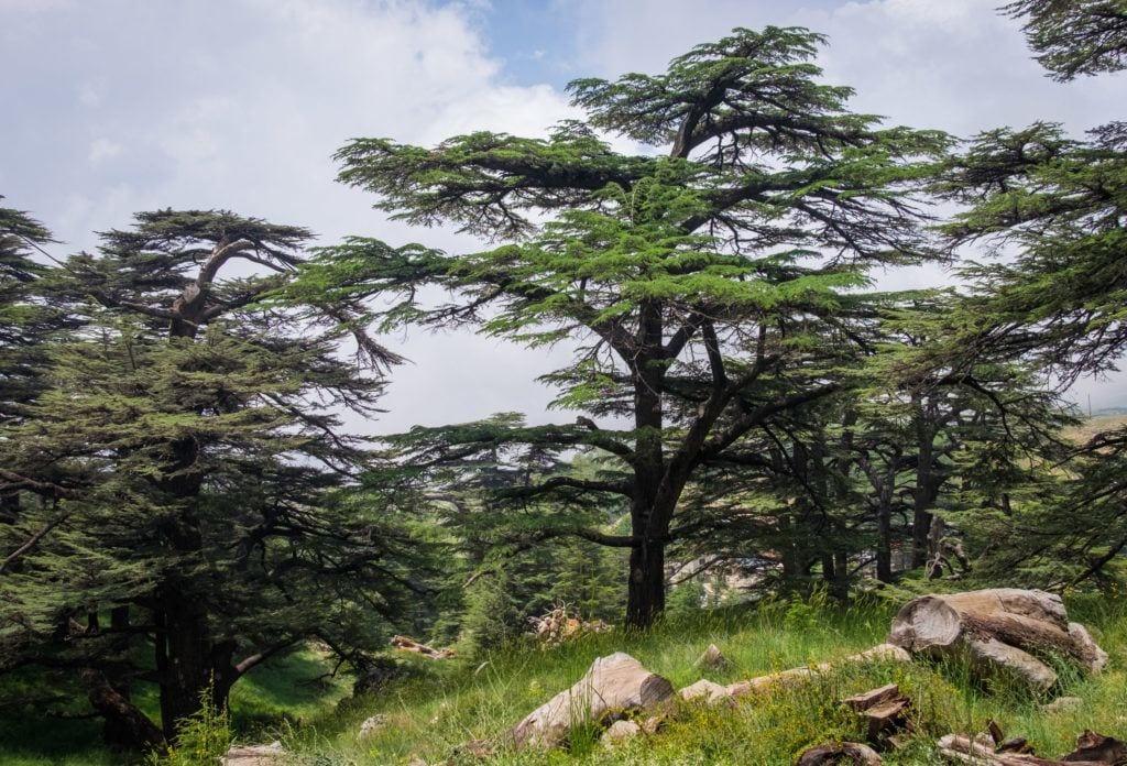 Uno de los cedros del Líbano: un pino cuyas ramas se abren en abanico horizontalmente en la parte superior, encaramado en la ladera de una montaña.