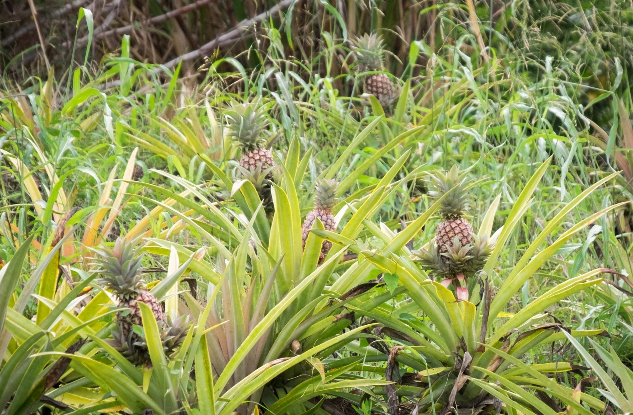 Palms on the side of the road in Antigua. Tiny growing pineapples are springing up from each bush.