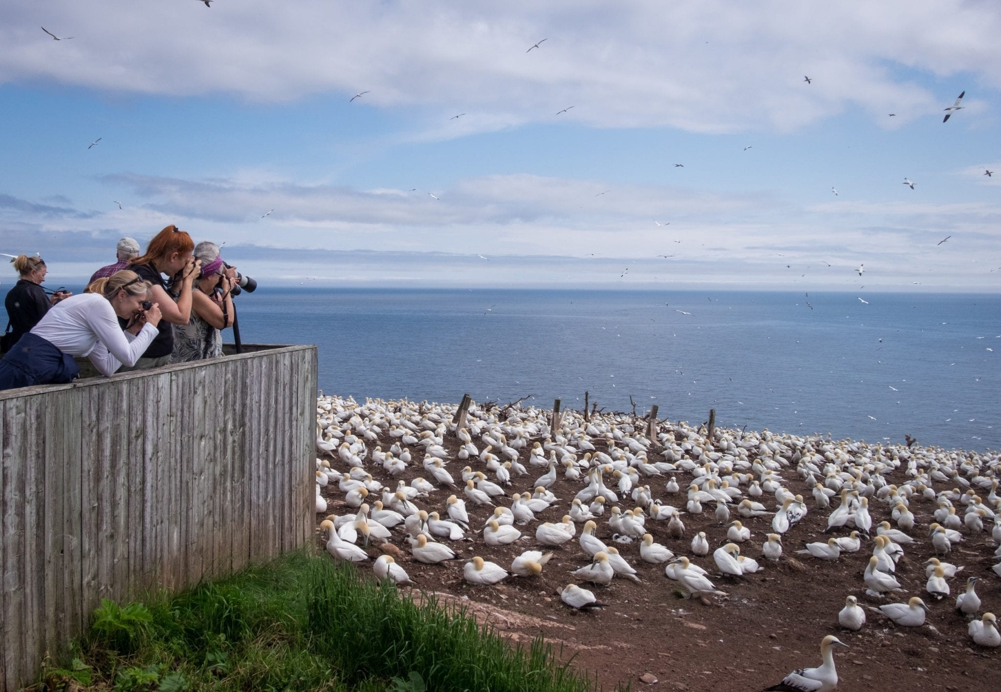 Several women lean over a platform and photograph thousands of white gannet birds in a colony on Bonaventure Island, Quebec.