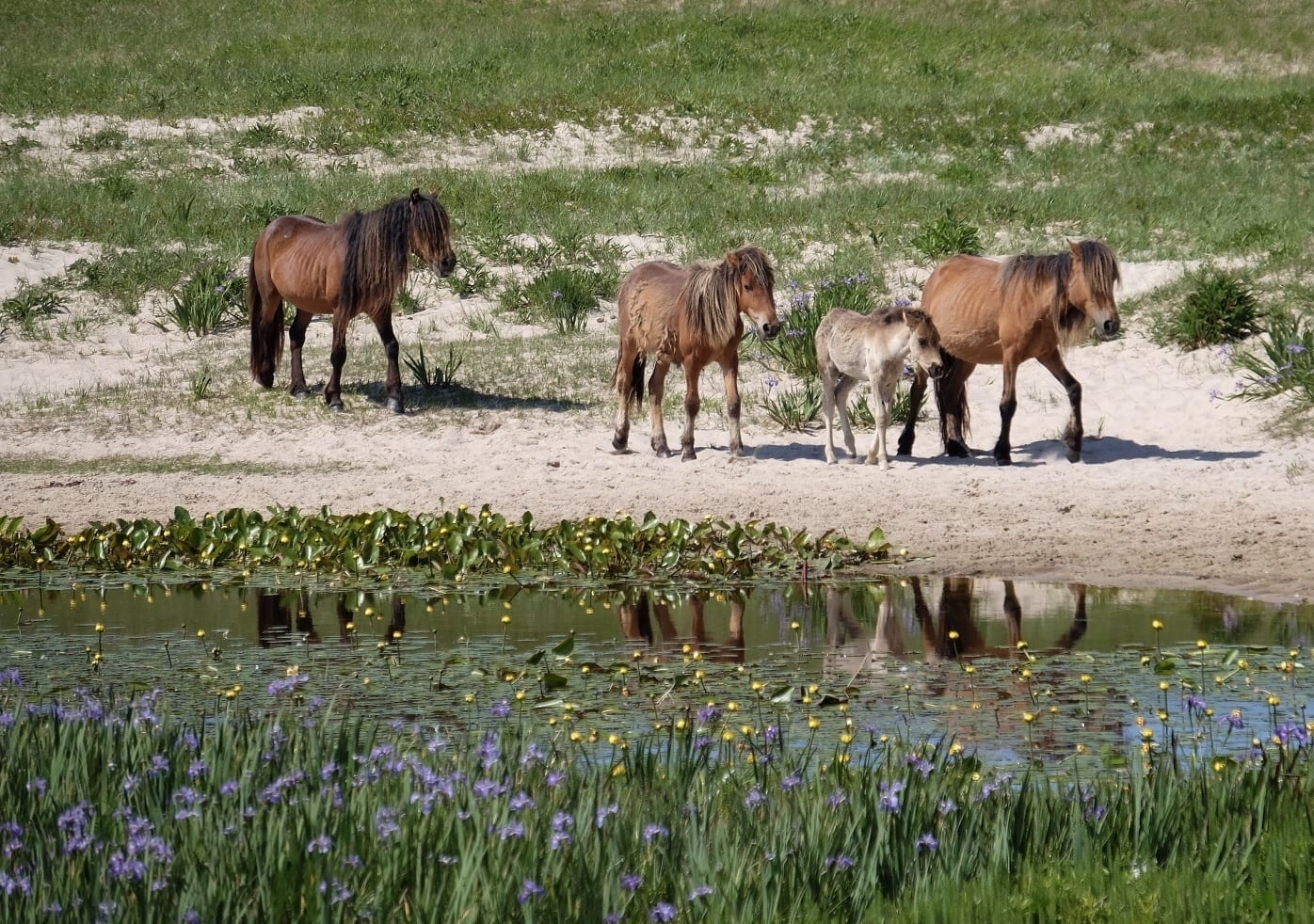 Four horses walking along a lake on sandy Sable Island.