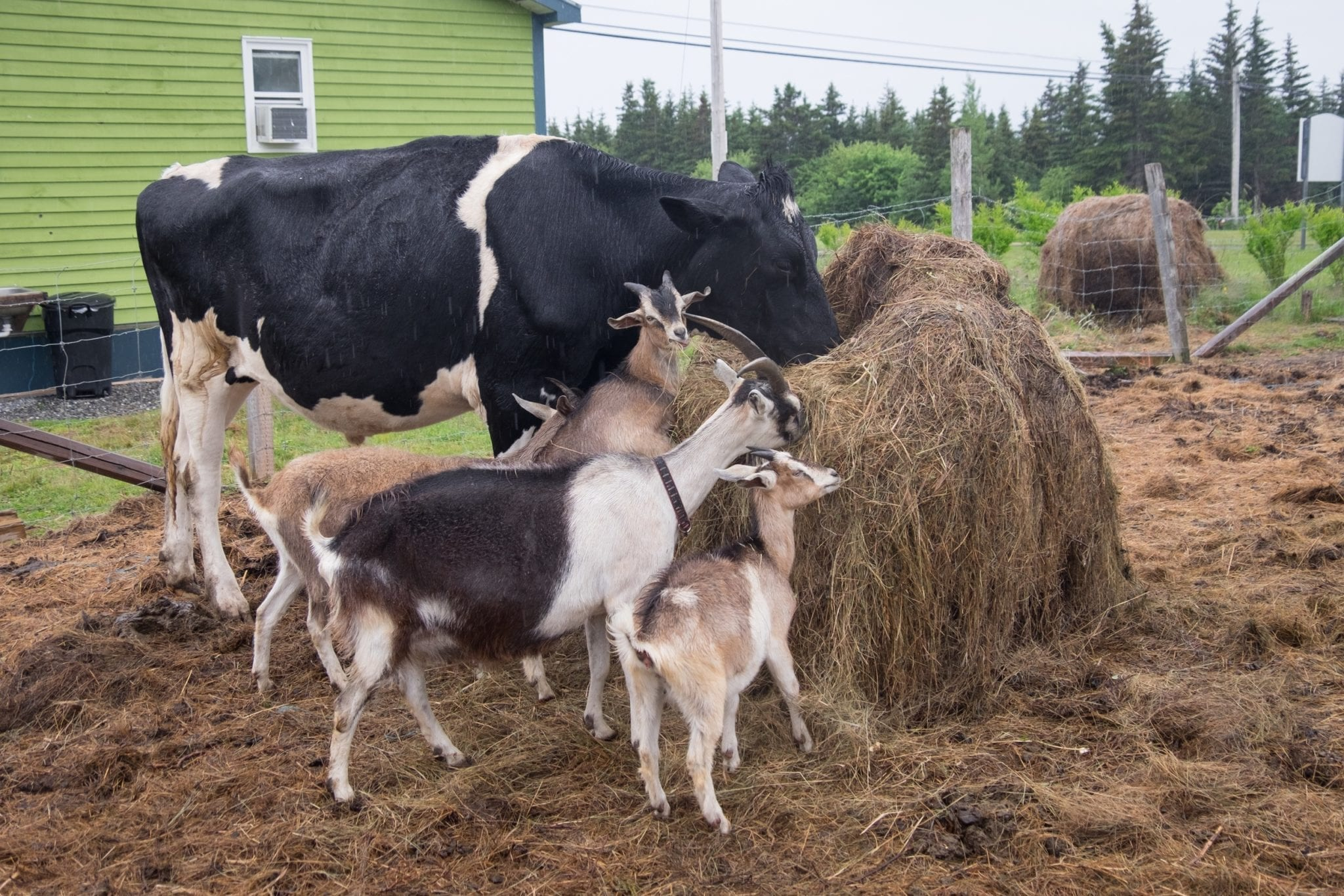 Several goats and a cow feeding on a bale of hay together in Cape Breton.