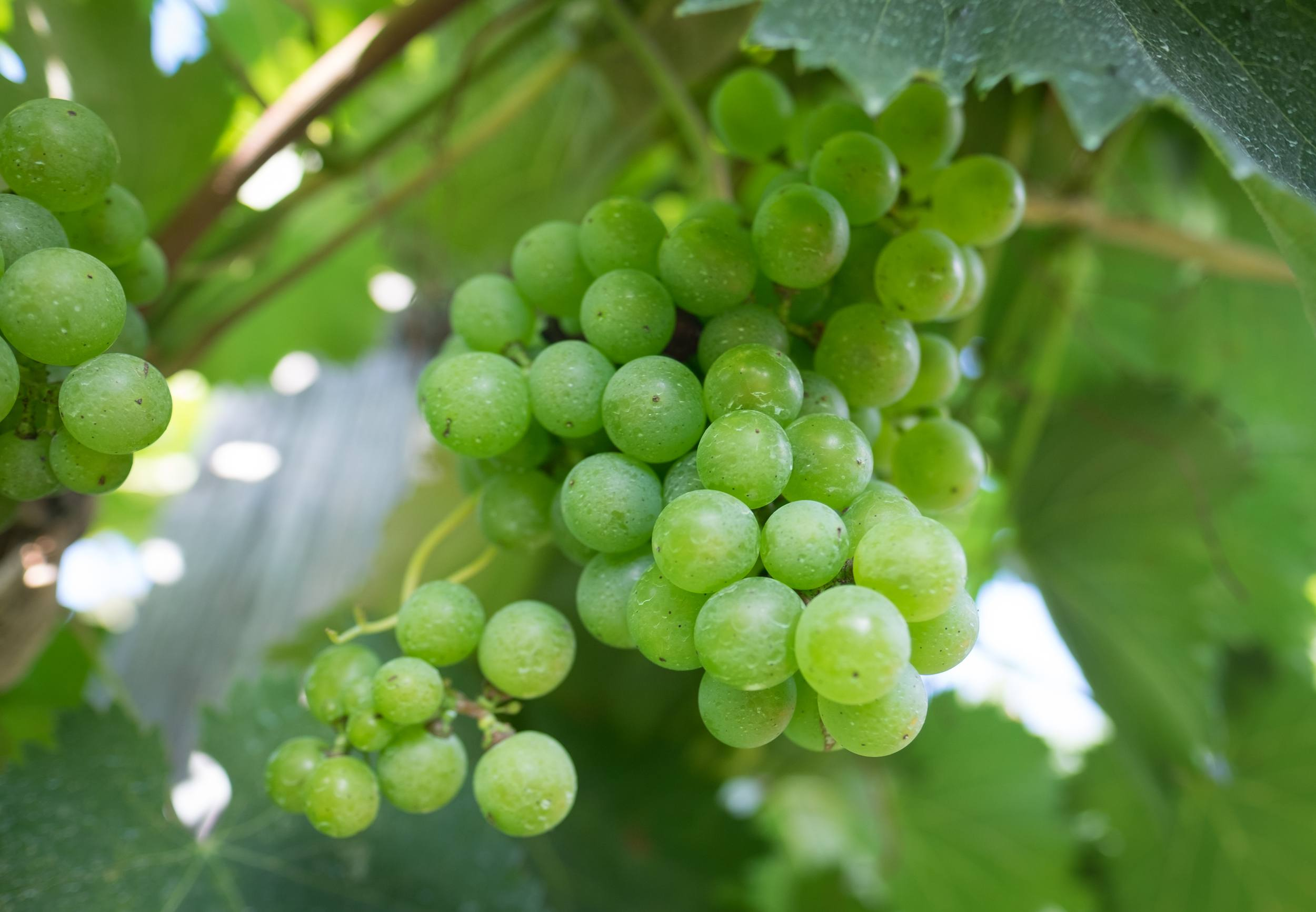 Green grapes nestled among green leaves on a vine.