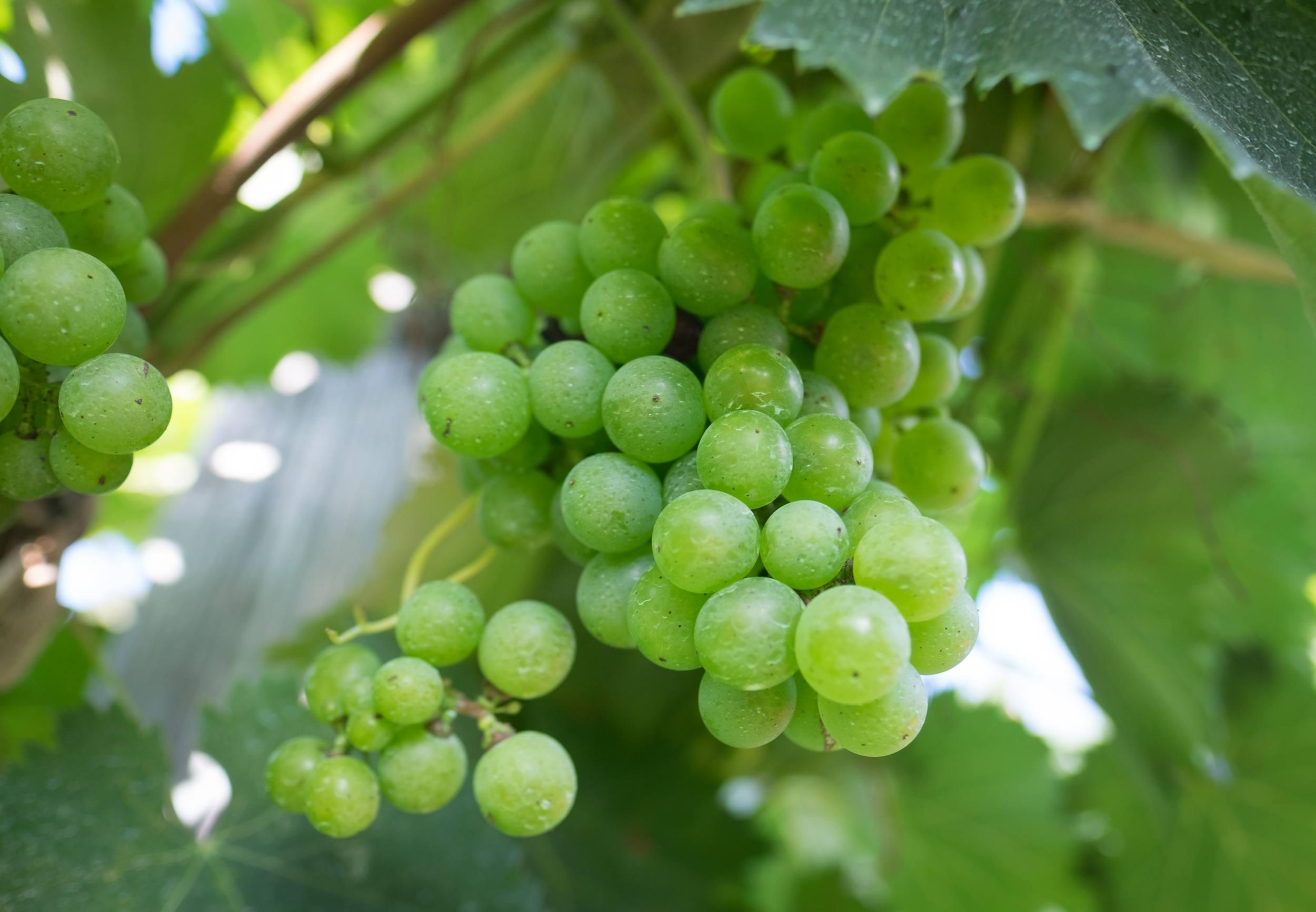 Green grapes nestled among green leaves on a vine.