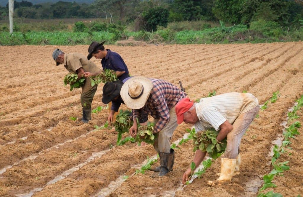 Four men work weeding tobacco in the fields.