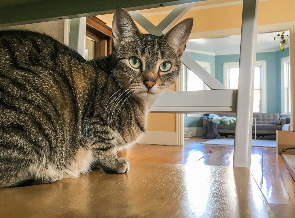 A tabby cat staring intently from underneath a table.