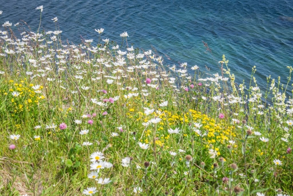 White, yellow, and purple wildflowers on a cliff leading to the ocean.
