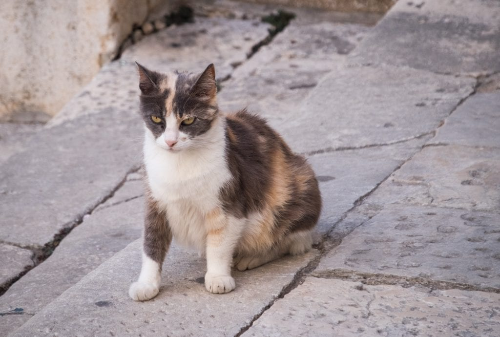 A black, white, and orange calico cat, sitting and looking angry, and possibly pregnant.