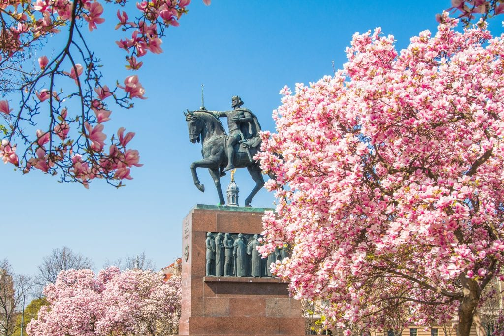 A statue of a man on a horse in Zagreb, surrounded by bright pink blossoms on trees underneath a bright blue sky.