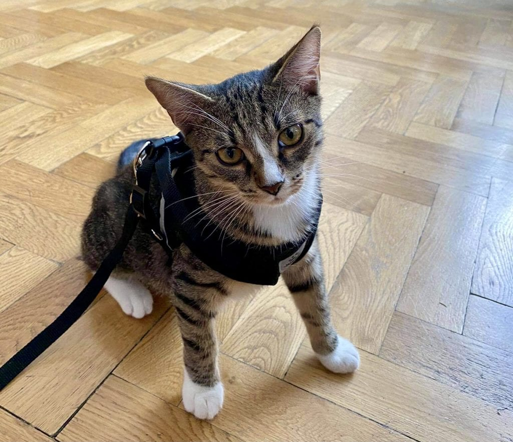 Lewis the gray tabby cat with a white stripe on his nose, sitting on the hardwood floor, wearing a black cat harness attached to a leash. He has his white front paws splayed out as if he's ready to go.