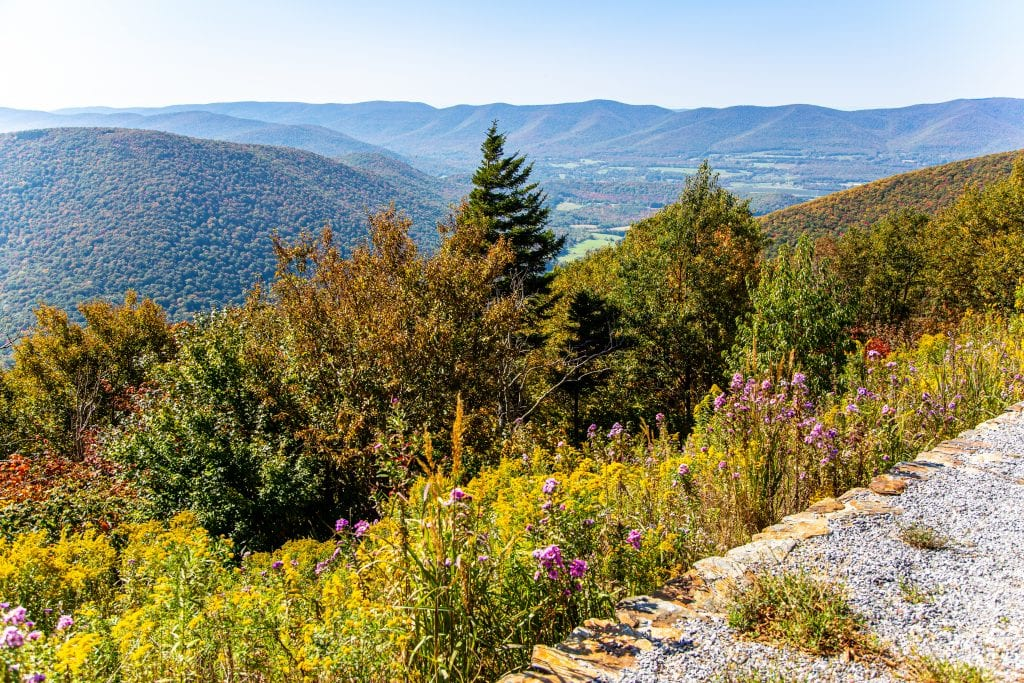 View from the top of Mount Greylock -- a hillside covered with purple wildflowers leads to pine trees, and in the distance, more mountains.