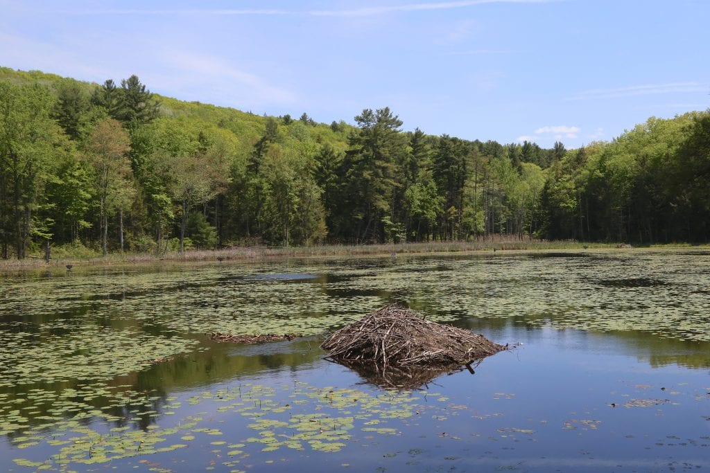 A quiet lake surrounded by trees and topped with thousands of green lily pads. In the center looks like a pile of tree branches -- it's a beaver lodge.