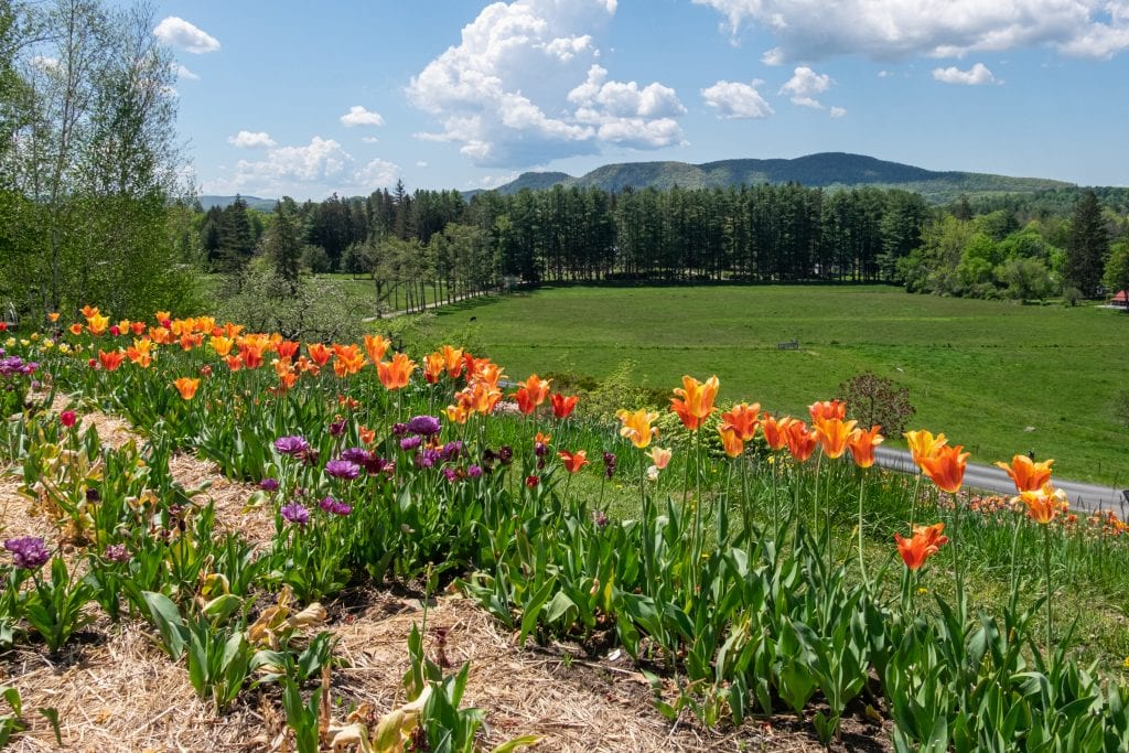 A line of blooming orange and yellow tulips on a hill in the Berkshires overlooking a country road, evergreen trees, and mountains in the distance.