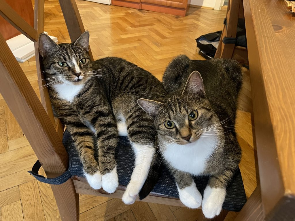Lewis and Murray, two gray tabby kittens with white bellies and white paws, sitting on the same chair together, giving the camera very serious looks.