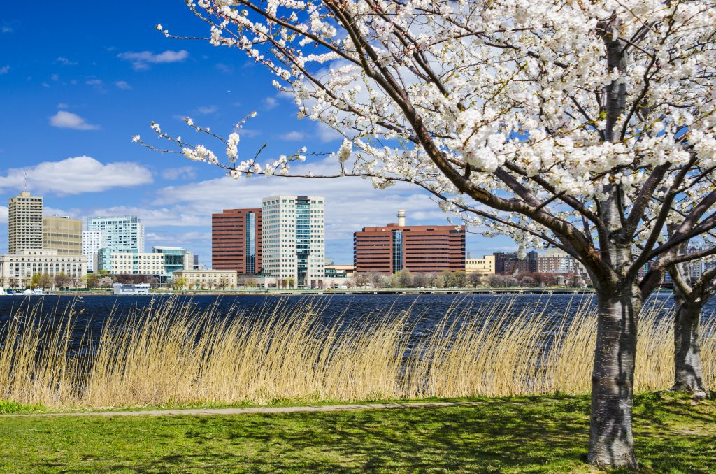 A white flowering tree in front of tall grass and the Charles River, blocky buildings of Cambridge on the other side.