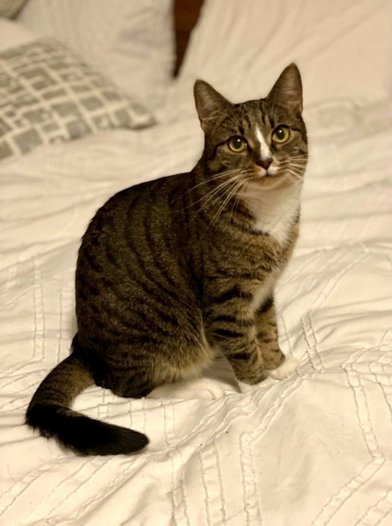 Little Lewis the cat, sitting calmly on a white bedspread and looking calm. He's gray striped with a smaller white belly, with a white stripe down between his eyes.